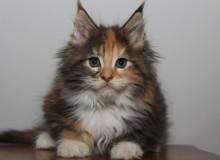 Генетическая предрасположенность у кошек.